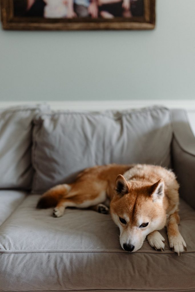 A shiba inu lays on a gray couch in light blue room with a family photo in the background.