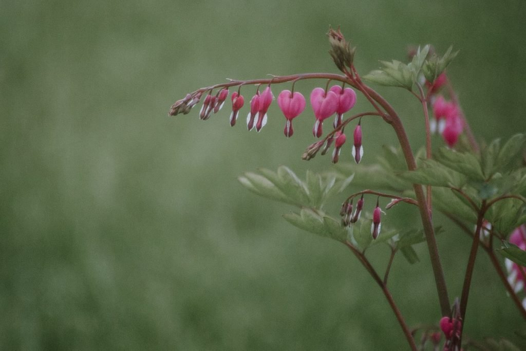 A filmic photo of a strand of pink bleeding heart flowers.