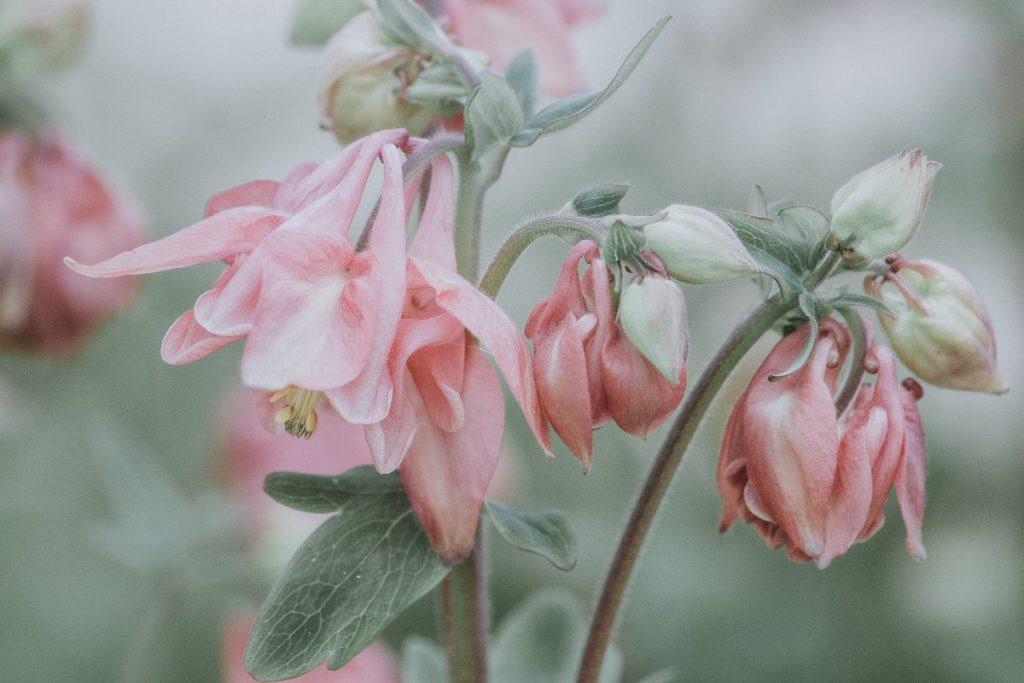 A filmic closeup photo of a pink columbine flower.