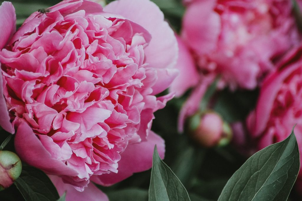A filmic close-up photo of pink peony flowers.